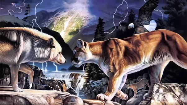 In una battaglia tra un leone di montagna e un lupo che vince?