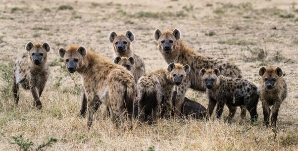 Animals that can kill Hyenas in the wild - Wild and Domestic