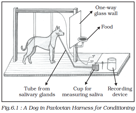 In Pavlov S Experiments With Dogs The Food Was The