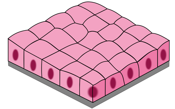 What Are The Functions Of Simple Cuboidal Epithelium Quora
