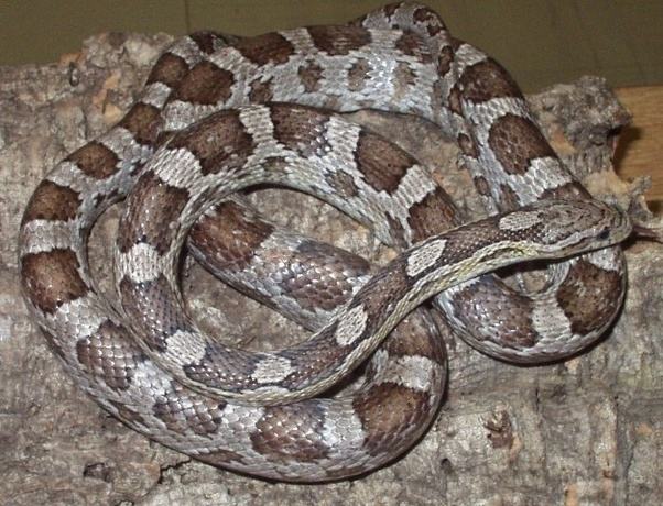 What S The Difference Between A Texas Rat Snake And An Anerythristic Corn Snake Is It The Fact One Is A Species And The Other Is A Morph Quora
