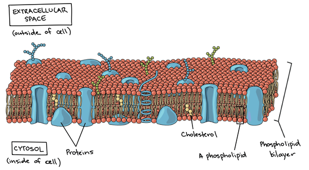 What is the structure of a plasma membrane and what is its ...