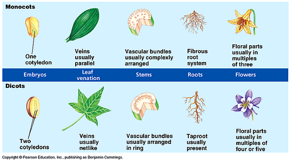What are some examples of monocots and dicots? - Quora