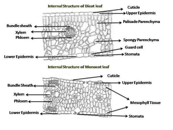 What Is The Difference Between Monocots And Dicot Leaves