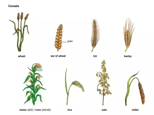 What Are Cereals Crops What Are Some Examples Quora