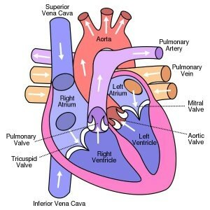 What are two differences between a 3 chambered heart and a 4 in 3 chambered heart both oxygenated and deoxygenated blood gets mixed in ventricle ccuart Choice Image