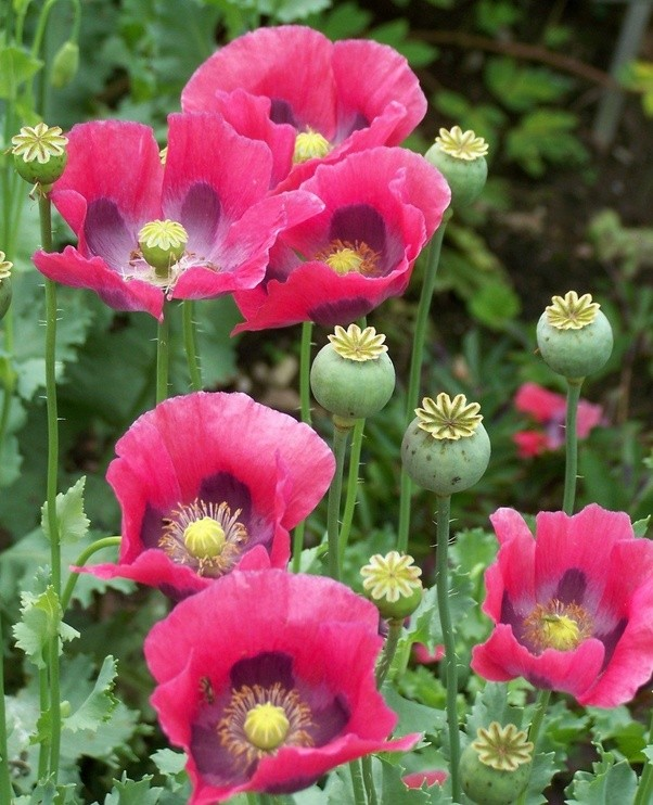 What colour are the poppies which opium is made from quora the botanical name is papaver somniferum the sleep giving poppy the fancy garden cultivars come in multi colours and mightylinksfo Gallery