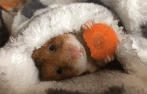 What are some facts about panda bear hamsters? - Quora