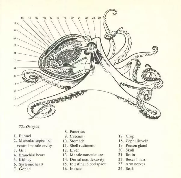 Why is an octopus considered a mollusk instead of a fish quora diagram 1 internal morphology of an octopus source pinterest original source not found ccuart Image collections