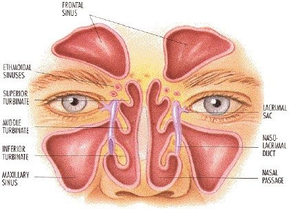 How is the structure of the nasal cavity related to its function ...
