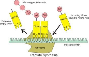 main qimg 8b6e597bdeda4de7586cefcff86c6fd0 which organelle is responsible for protein synthesis? what is its