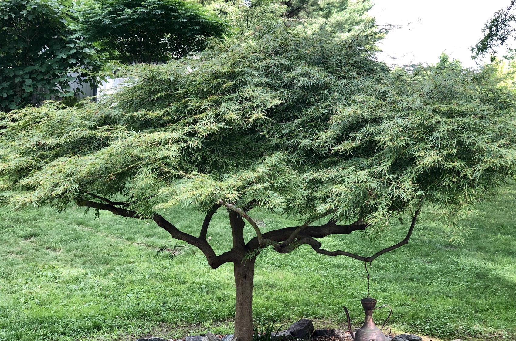 What Is The Best Japanese Maple Variety Quora