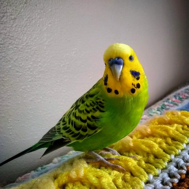 Which Parrot Is Most Affectionate A Budgie Or Lovebird Quora