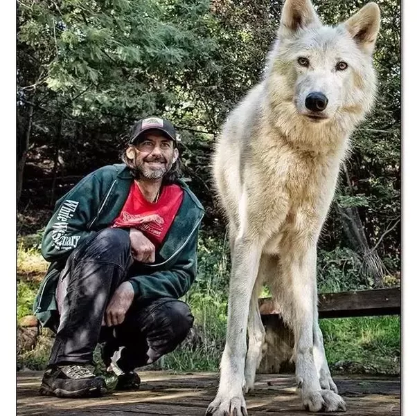 What Is The Largest Wolf Dog Breed