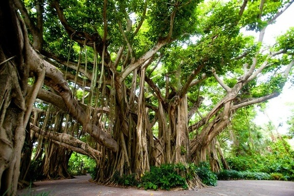 What Are The Shade Giving Trees Of India That Do Not Shed