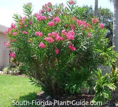 What Are Some Examples Of Shrub Plants Quora