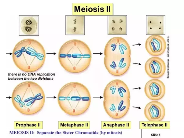 what are the differences between mitosis and meiosis