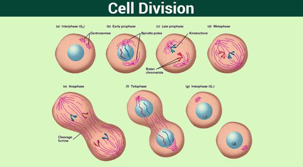 What Is The Cell Division Between Bacterial Cells And In Onion Peel