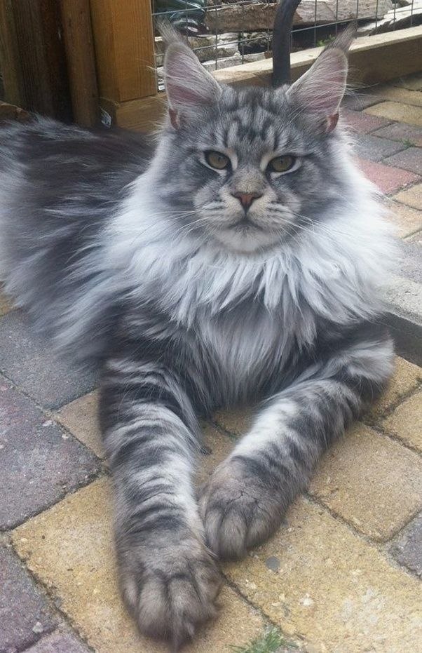 Image result for maine coon