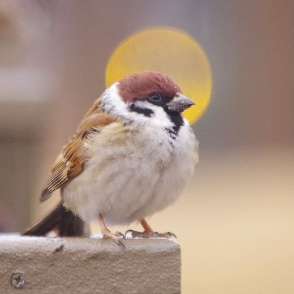 What Is The Reason For The Sudden Disappearance Of Sparrows Quora