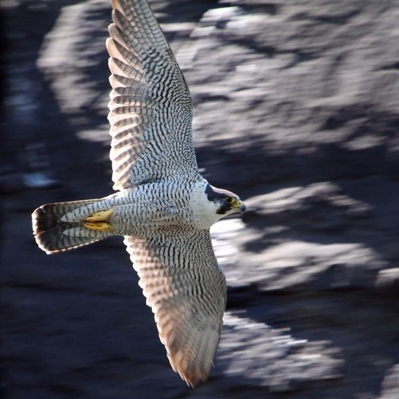 do peregrine falcons make a zipping sound when flying in full stoop dive i just saw a blur. Black Bedroom Furniture Sets. Home Design Ideas