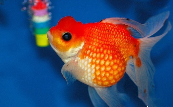 What are the different goldfish breeds? - Quora