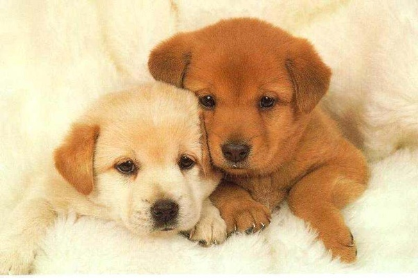 What Is The Cost Of A Labrador Retriever Puppy In India Quora