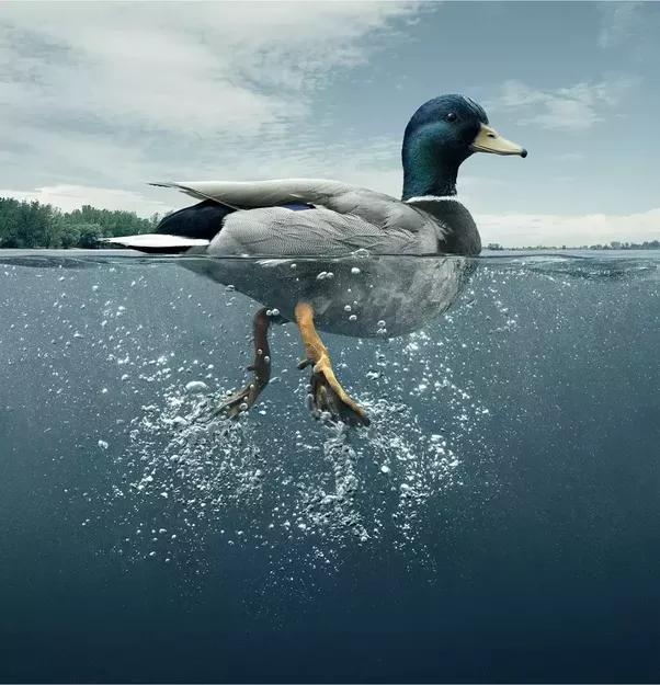 How are ducks able to swim? - Quora