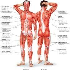 how many muscles are there in the human body quora