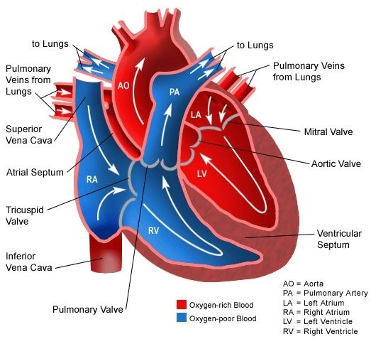 What are the differences between the ventricle and atrium of a heart see also this quora question what are the differences between the ventricle and atrium of a heart ccuart Choice Image