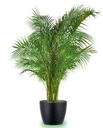 First Choice Should Go To Areca Plant   Dypsis Lutescens, These Are  Beautiful And Typically Non Toxic. These Are Also Called Butterfly Plants