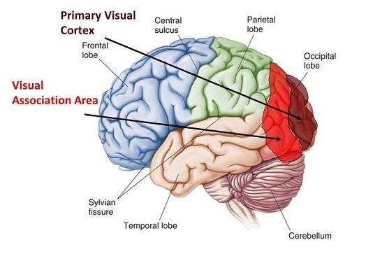 PPT - Sensory Systems PowerPoint Presentation, free ... |Visual Cortex