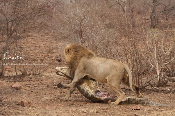 Why do Crocodiles fear Lions? - Quora