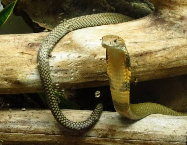 Later On When He Realized Hed Done That Checked And There Was Only One Snake Slightly Fatter Left The King Cobra