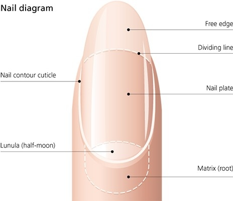 How far back under your skin do your fingernails grow? - Quora