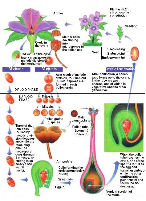 Male And Female Fruit Trees Part - 19: But To Me, That Sounds Like There Are Trees That Have Flowers With Only  Female Parts, And Trees With Flowers That Have Only Male Parts.
