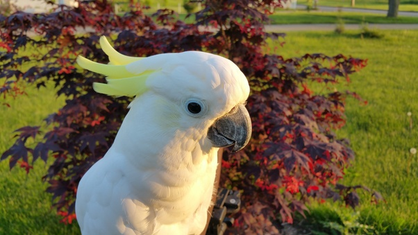Do pet parrots ever come back once they fly off? - Quora