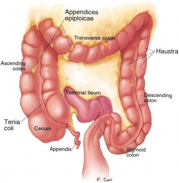 What Are Sacculations Of The Large Intestine Quora