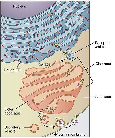 endoplasmic reticulum and golgi bodies relationship counseling