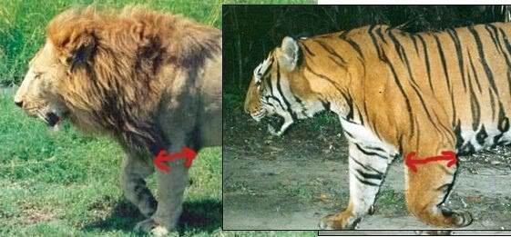 Is it true that lions have more powerful front legs than ...