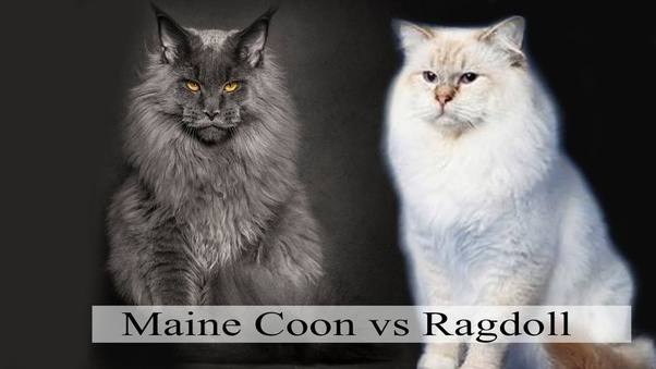 Which Cat Breed Would You Rather Have Ragdoll Or Maine Coon Quora