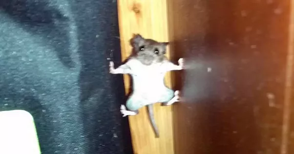Can Mice Climb Tables And Reach The The Top Of The Table