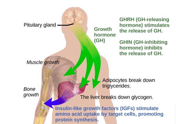 articles upon human improvement hormones