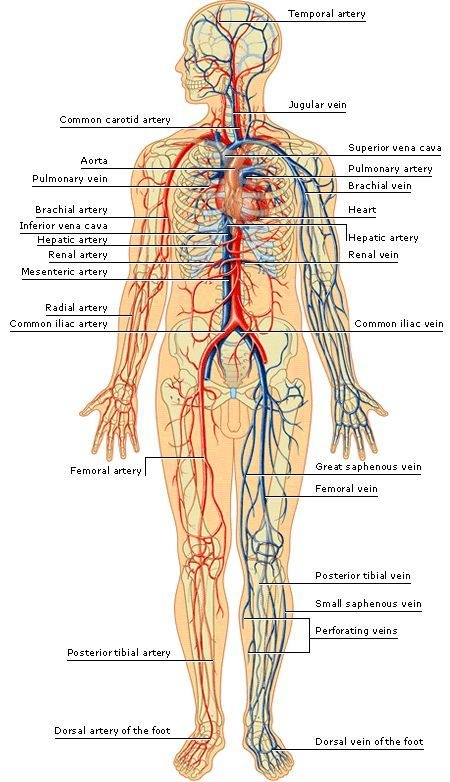all veins in human body