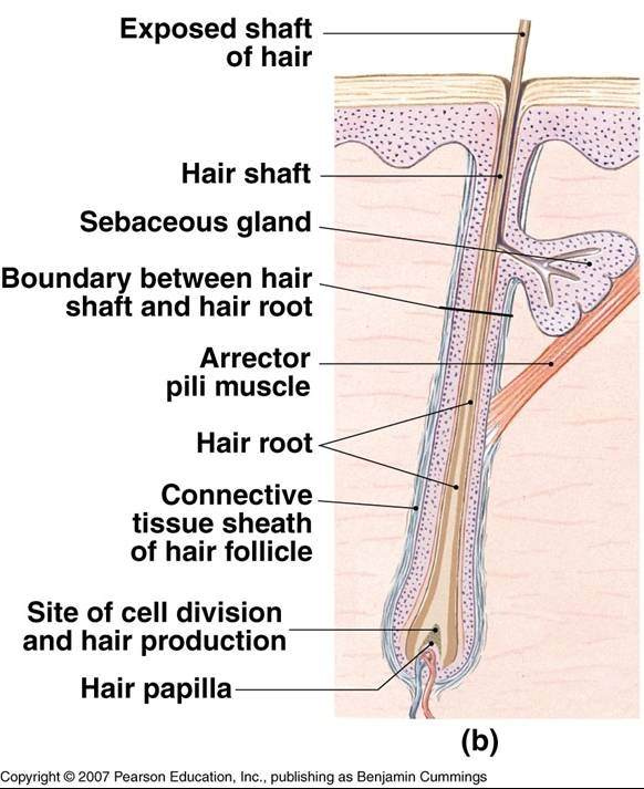 What are some reasons for the hair on your body standing up? - Quora