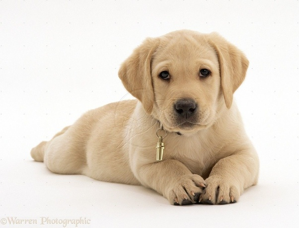 What Is The Cheapest Price Of A Good Labrador Retriever Puppy Quora