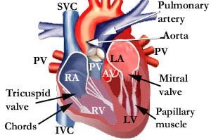 Which part of the heart pumps blood quora svc superior vena cava ccuart Gallery