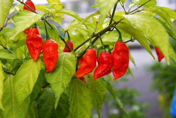 spiciest food, Bhut Jolokia curries