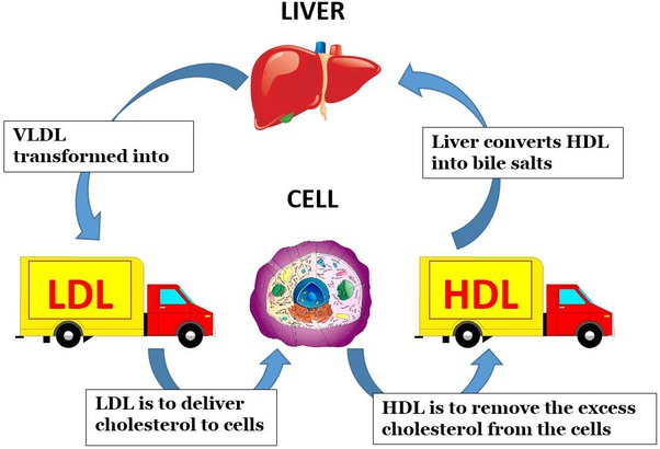 What Is Vldl Cholesterol Quora
