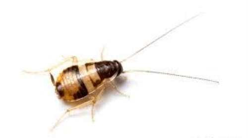 Is This A Bed Bug Or A Baby Roach I Found It Crawling On The Bathroom Mirror Quora